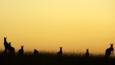 Small group of kangaroos silhouetted at sunset