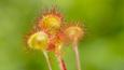 A cluster of common sundews