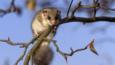 Edible dormouse on a branch