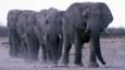 Herd of elephants walking in single file