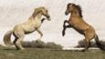 Palomino and red dun stallions rearing