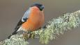 Male bullfinch perched on lichen covered branch