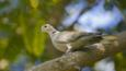 Collared dove perched on tree branch