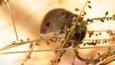 Harvest mouse climbing a plant (c) Adrian Dutton