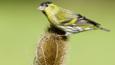 Siskin on a teasel flower