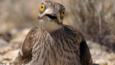 Stone curlew incubating eggs on nest