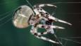 Garden spider with insect prey