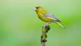 Greenfinch perched on a branch (c) Margaret Sweeny