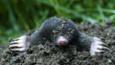 European mole surfacing from a mole hill