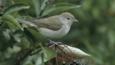 Garden warbler on elderberry tree