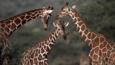 Three reticulated giraffes in Kenya