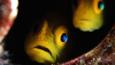 Profile of two gobies
