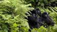 A group of mountain gorillas