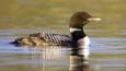 Great Northern diver adult in breeding plumage on water in evening light