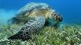 Green sea turtle feeding on sea weed in a meadow