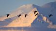 Migrating sandlhill cranes flying past snowy mountain at sunrise