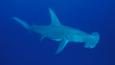 Portrait of a great hammerhead shark