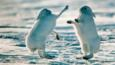 Two Arctic hares 'boxing' in the snow over territory