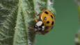 Harlequin ladybird on a nettle