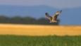Montagu's harrier in flight over field