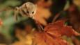 A dormouse in Autumn