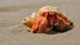 Hermit crab peering from a mollusc shell