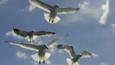 Looking up at herring gulls in flight