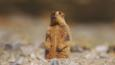 Himalayan marmot sitting on hind legs