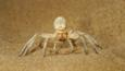 Dancing white lady spider 'dancing' in defensive threat display on sand dune