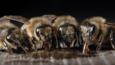 Four honey bee workers feeding on honey from a cell in the hive