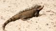 Iguana standing on sand