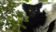 Indri in a tree