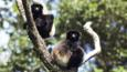 Two Milne Edwards sifaka up a tree