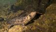 A Japanese giant salamander climbing an underwater rock