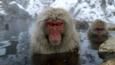 Female Japanese macaques sit in a hot spring to keep warm