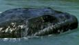 Koolasuchus emerging from water