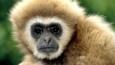 White-handed gibbon portrait