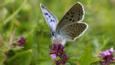 Large blue butterfly feeding on wild thyme flowers