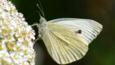 Large white butterfly on a white flower (c) Jan Riley