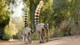 Ring-tailed lemur troop on the move