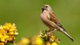 Linnet standing on vegetation