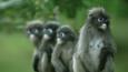 Four dusky leaf monkeys are wet after rain