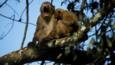 Assam macaques in a tree