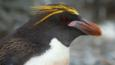 Close-up head portrait of a macaroni penguin