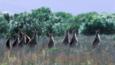 Grey kangaroo herd in a meadow