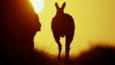Silhouette of a male wallaroo at sunset