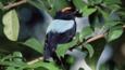 Blue backed manakin amongst forest foliage