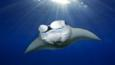 A manta ray swimming