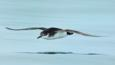 Manx shearwater in flight over water (c) Shane Jones