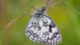 Marbled white butterfly hanging to flower 